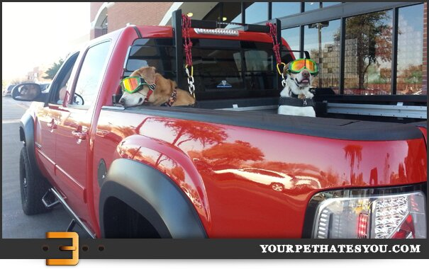 dogs-in-the-back-of-a-truck