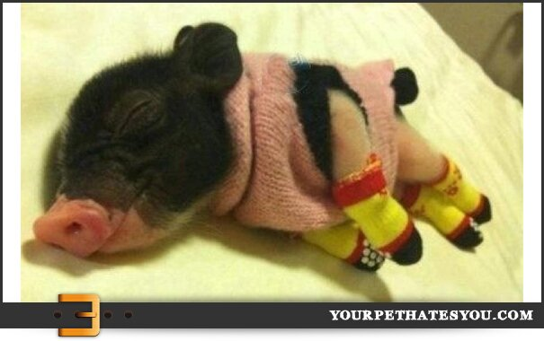 pigs-in-a-sweater