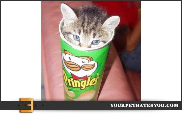 pringles-cat
